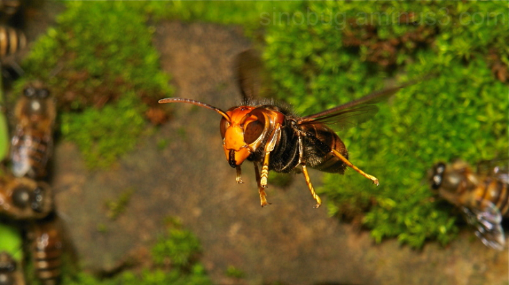 CIM Cávado entrega equipamento de combate à vespa asiática; primeira morte atribuída ao insecto ocorreu em Vila Verde
