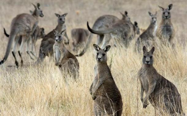 Cangurus já são quase o dobro dos australianos