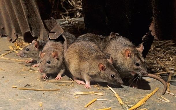 AMARES: Praga de ratos em estabelecimentos comerciais de Ferreiros