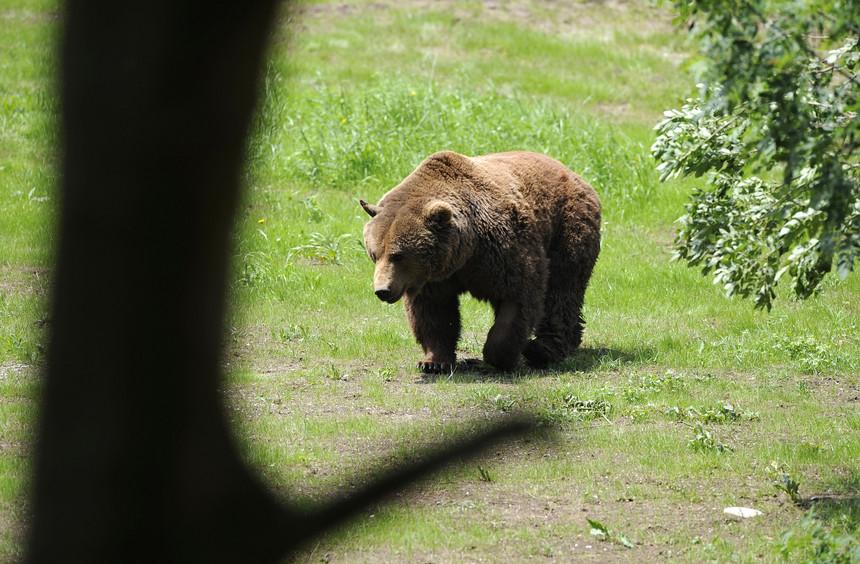 Portugal confirma presença de um urso pardo no Gerês