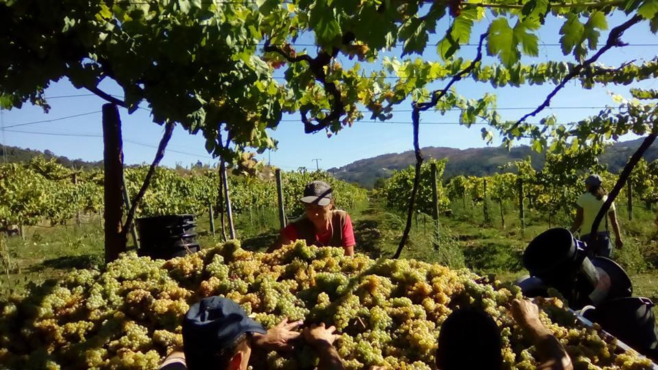 Região dos Vinhos Verdes vai produzir 70 milhões de litros este ano menos que em 2018