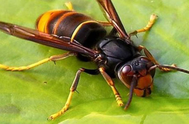 Homem picado por vespas asiáticas em Amares