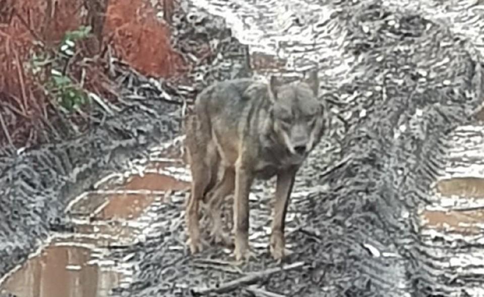 Lobo ibérico fotografado na floresta de Outeiro, em Viana do Castelo