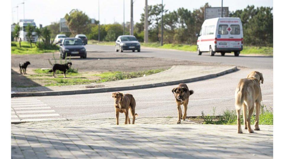 Cerca de 600 ataques de cães a rebanhos todos os anos no Minho