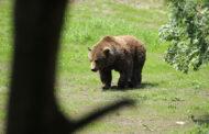 Primeiro urso pardo avistado na Galiza em 150 anos