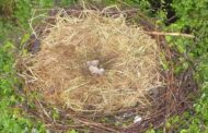 Casal de cegonhas de Famalicão tem duas crias e 'derrete' a internet