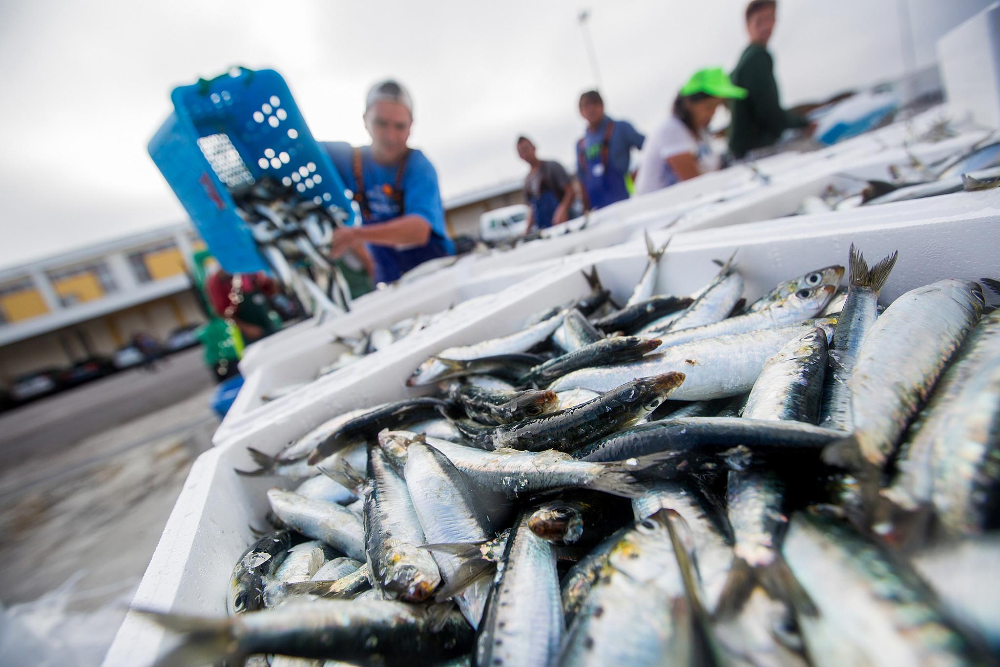 Pesca da sardinha regressa a 1 de Junho