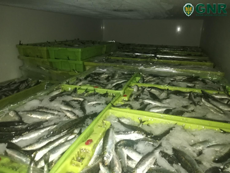 GNR apreende mais de duas toneladas de sardinha por fuga à lota em Viana do Castelo