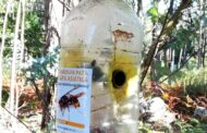 Combate à vespa asiática estabiliza aumento de novos ninhos em Esposende