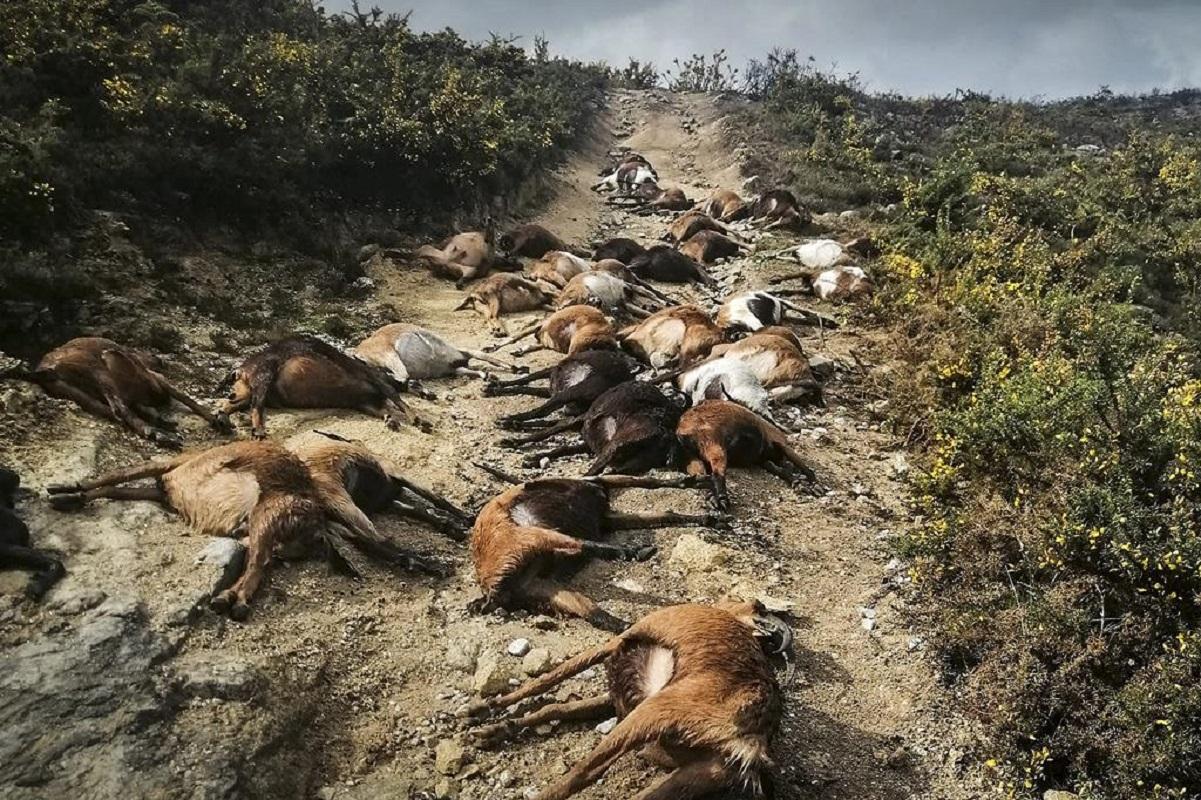 Ordem dos Veterinários recolhe ajuda para pastor que perdeu 68 cabras em Arcos de Valdevez