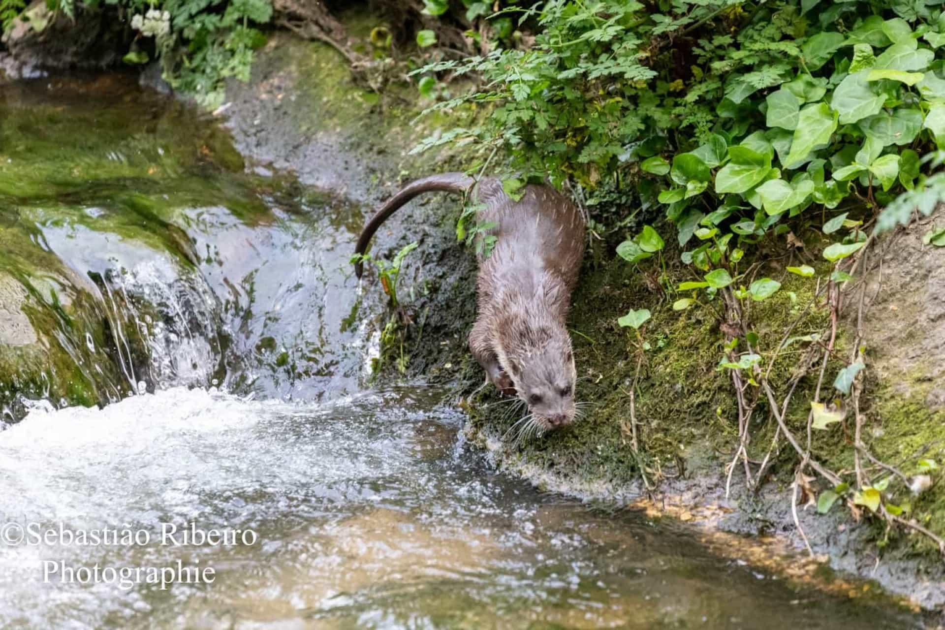 Fotógrafo 'apanha' lontra a pescar no rio Este em Braga