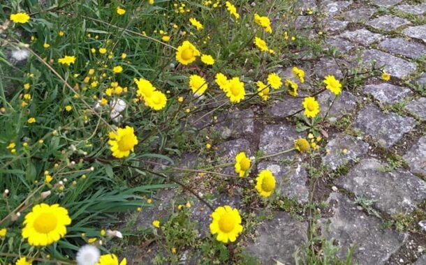 Junta de freguesia de Braga deixa crescer ervas nas ruas para alimentar abelhas