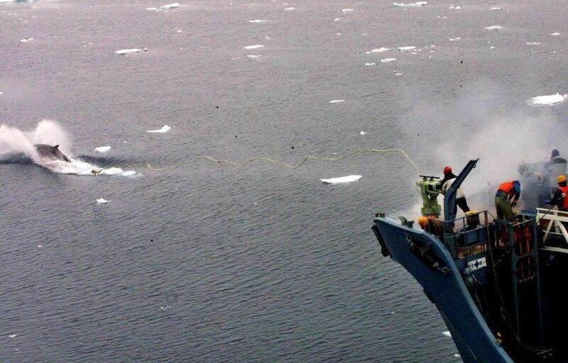 Rússia vai proibir caça de baleias e golfinhos