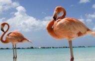 Duas colónias de flamingos estão a nidificar pela 1.ª vez em Portugal