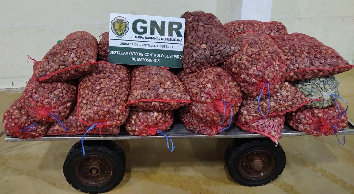 """GNR apreendeu 580 quilogramas de bivalves """"imaturos"""" em Viana do Castelo"""