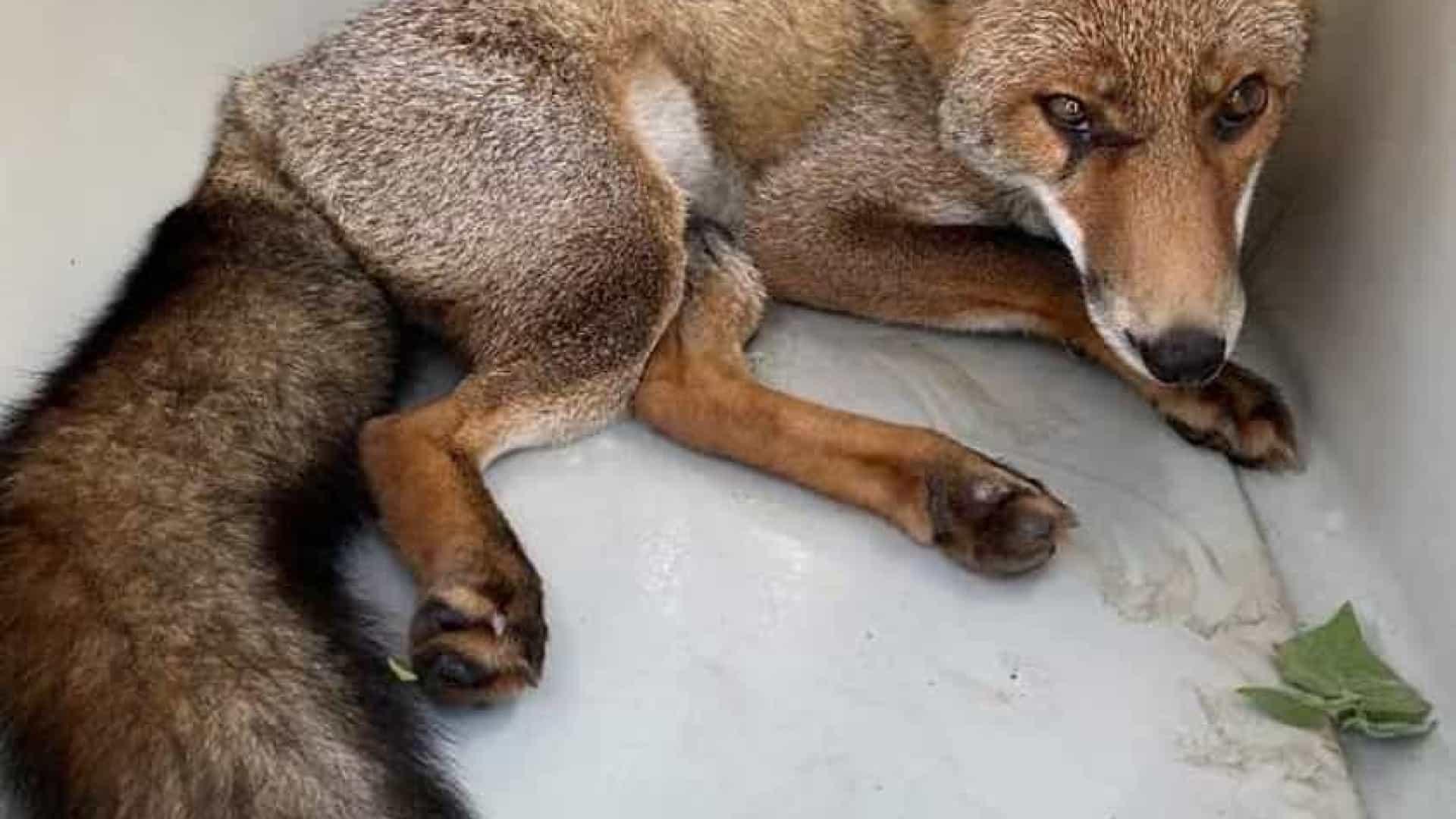 GNR resgata raposa acorrentada em Famalicão